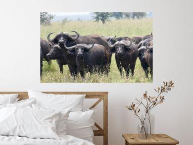 Wild buffalo looking over curiously, serengeti, tanzania, africa