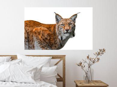 Eurasian lynx (Lynx lynx) close up portrait against white background