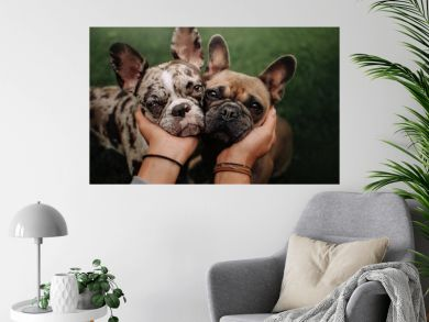 two french bulldog dogs portrait close up outdoors together