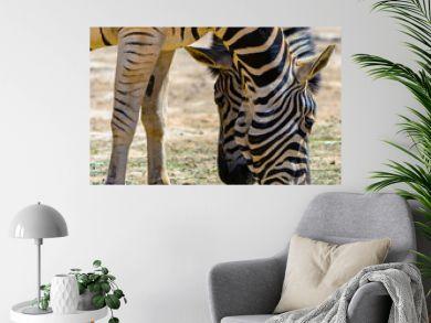 It's Plains zebras (Equus quagga) look for the grass on the plain