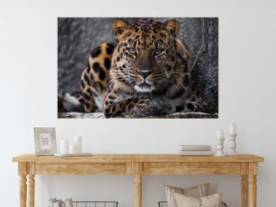 look brutal, lying Amur leopard, powerful motley big cat looks straight through the eyes of a predator.