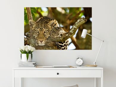 leopard on tree, leopard portrait in the wilderness of Africa