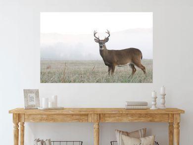 Whitetail deer buck in an open field