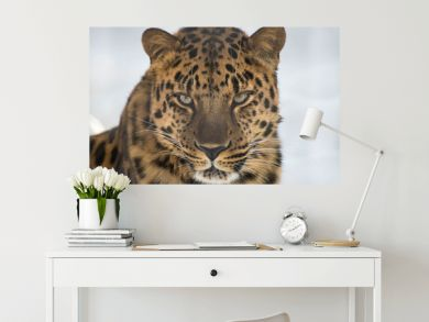 Portrait of the far Eastern leopard