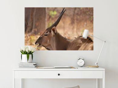 Antilope, 4