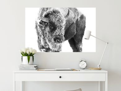 American Bison - Frost