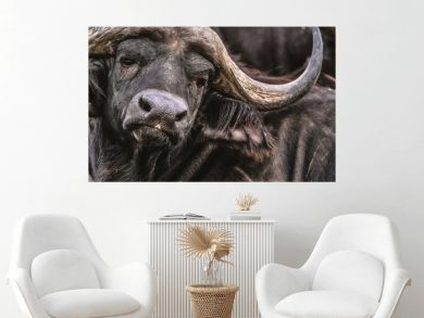Close up of an african cape buffalo in a docile resting state.