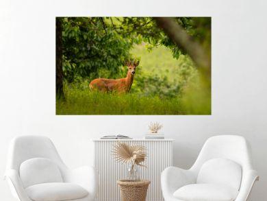 Roebuck on a green meadow