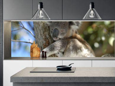 koala at Port Stephens area, NSW, Australia.