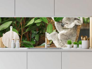 Australian koala outdoors in a eucalyptus tree.