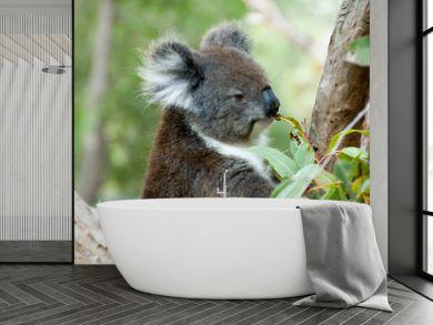 Koala on Eucalyptus Tree - Australia