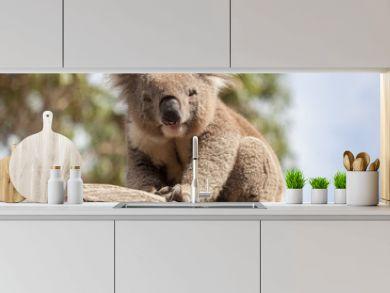 Portrait of Koala sitting on a branch