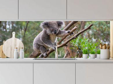 A wild Koala climbing a tree