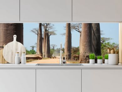 Avenue of baobabs