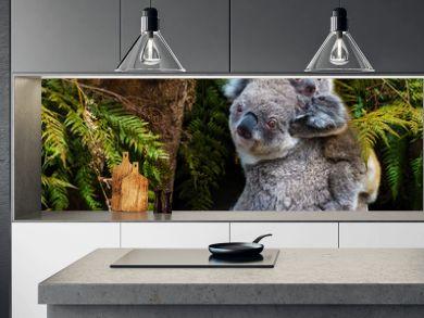 Australian koala bear native animal with baby