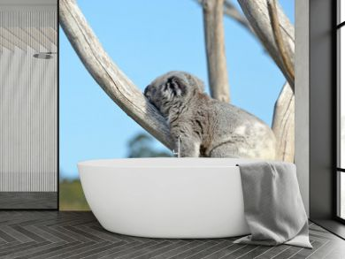 Australian Koala (Phascolarctos cinereus) sleeping on stomach in a gum tree. Iconic marsupial mammal of Australia
