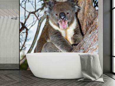 Wild koala on a tree while yawning
