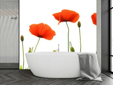 Red poppy flowers isolated .