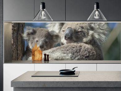 koala with baby  Anna bay, New  South Wales, Australia.