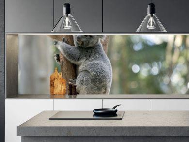 joey koala