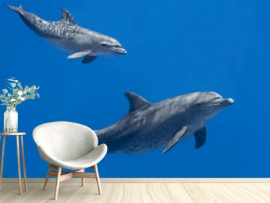 Dolphins family (baby and mother) swimming in water of the blue