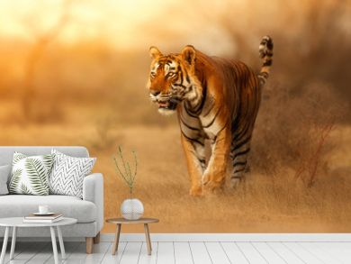 Great tiger male in the nature habitat. Tiger walk during the golden light time. Wildlife scene with danger animal. Hot summer in India. Dry area with beautiful indian tiger, Panthera tigris