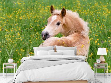 Haflinger horse foal resting amidst buttercup flowers