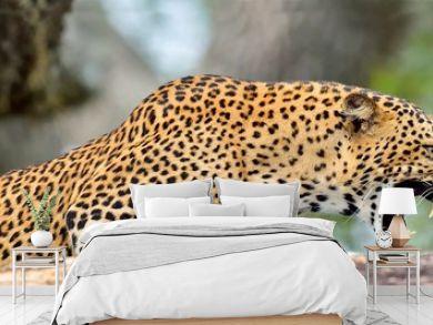 Leopard roaring. Leopard on a stone. The Sri Lankan leopard (Panthera pardus kotiya) female. Yala National Park. Sri Lanka