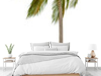 Coconut palm tree isolated on white background.  XXL size.