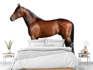 Bay sport horse isolated on white background