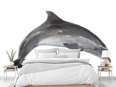 grey bottlenose dolphin isolated on white