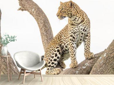 Junge Leopardin in einer Akazie 8