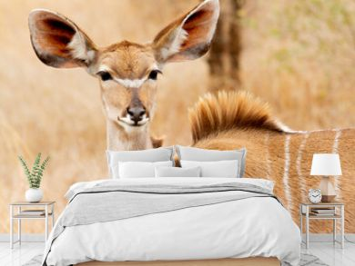 Female antelope eating herbs in the Kruger National Park in South Africa.