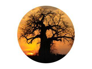 Baobab bij zonsondergang, Ruaha NP
