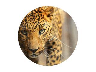 Luipaard portret