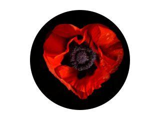 rode papaverbloem op een zwarte achtergrond