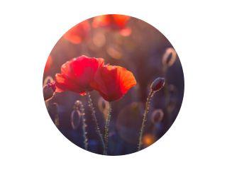 Poppy bloemen in de wei bij zonsondergang