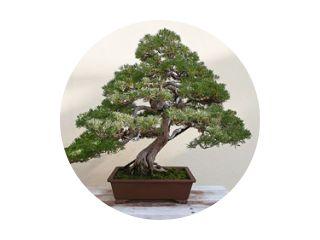 Mooie dennenboom bonsai