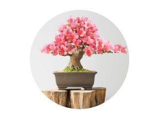 bloeiende bonsai azalea in het voorjaar op tentoonstelling