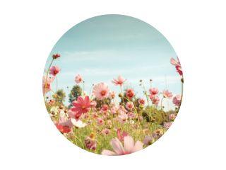 Kosmos bloem bloesem in de tuin