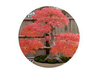 Japanse esdoornbonsai in de herfst