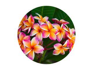 Plumeria bloemen, natuurlijke boom