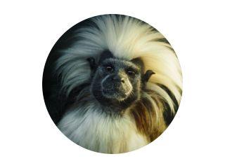 Oedipus Tamarin. Portret van een ongewone aap