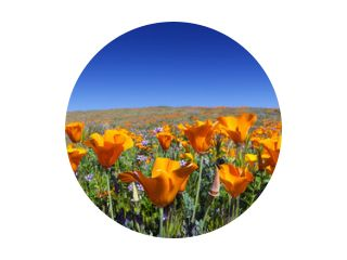 Wild California Poppies bij Antelope Valley California Poppy Reserve