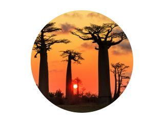 Mooie Baobab-bomen bij zonsondergang aan de laan van de baobabs in Madagascar