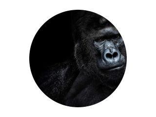 Mannelijke gorilla op zwarte achtergrond, mooi portret van een gorilla. ernstige zilverrug, mensapen