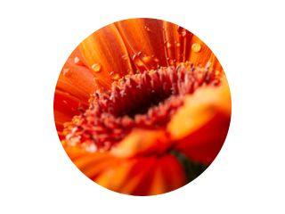 Gerbera bloem met druppels water