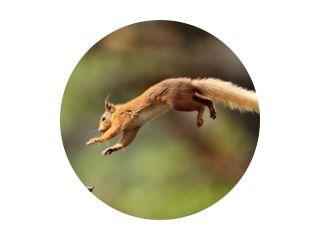 Rode eekhoorn vliegen