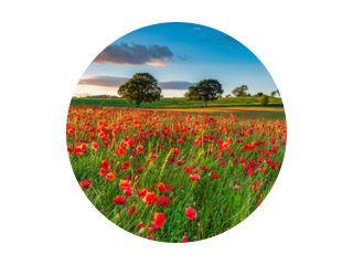 Veld met rode klaprozen / Een papaverveld vol rode klaprozen in de zomer bij Corbridge in Northumberland