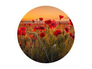 Verbazingwekkend mooie veelheid van klaprozen die groeien in een tarweveld bij zonsopgang met dauwdruppels